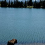 Yellowstone-Bison-Drinking-Lake